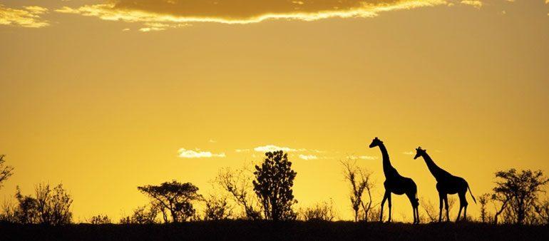 RIT-Blog-giraffe
